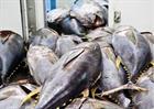 Cá ngừ nano(30-50kg/con)