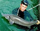 Cá tầm Nga khủng (10-20kg/con)