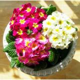Hạt giống hoa Cúc báo xuân