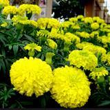 Hạt giống hoa cúc Vạn thọ Hoàng gia