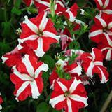 Hạt giống hoa Dạ yến thảo sọc rủ