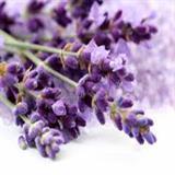Hạt giống hoa Lavender
