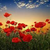 Hạt giống hoa Lệ xuân Anh túc