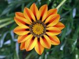 Hạt giống hoa Cúc Huân chương