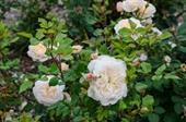 Hoa bishop rose