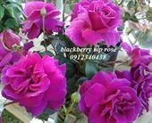Hoa hồng Blackberry Nip