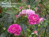 Hoa blue boy rose
