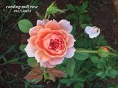 Hoa hồng ngoại Carding Mill  rose