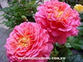 Hoa hồng ngoại Christopher Marlowe rose
