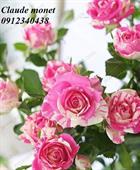 Hoa hồng bụi CLAUDE MONET