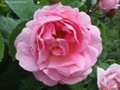 Hoa hồng leo Constance Spry rose