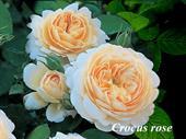 Hoa crocus rose