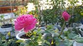 Hoa hồng ngoại Dream Light rose