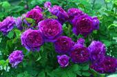 Hoa hồng ngoại Ebb Tide rose