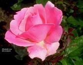 Hoa elizabeth rose