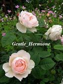 Hoa gentle hermione
