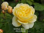 Hoa hồng Graham Thomas Rose