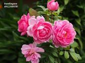 Hồng Huntington Rose