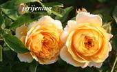 Hoa hồng Jerijennings