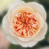 Hoa hồng ngoại Juliet