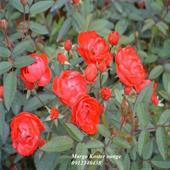 Hoa hồng Orange Margo Koster