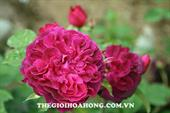 Hoa munstead wood rose