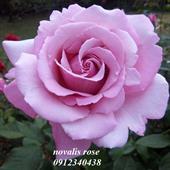 Hoa novalis rose