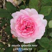 Hoa orsola spinola rose