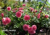Hoa pink swany