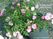 Hoa margo koster