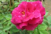 Hoa prince rose