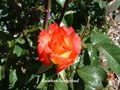 Hoa hồng bụi Rainbow Sorbet