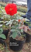 Hoa red fairy