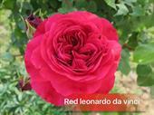 Hoa red leonardo rose