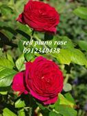 Hoa Red piano