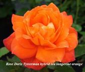 Hoa Rose Doris Tysterman hybrid tea tangerine orange