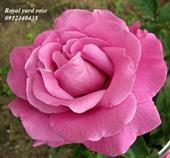 Hoa royal yard rose