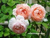 Hoa hồng ngoại Salmanasar rose