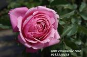 Hoa sour emanuelle rose