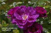 Hoa wild blue yonder