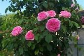 Cây Hoa hồng Gertrude Jekyll