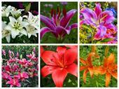 Hoa lily