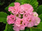 Báo xuân hoa cuộn nụ hồng F1