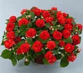Ngọc thảo kép đỏ