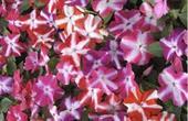 Hoa ngọc thảo sao đơn F1 nhiều mầu sắc