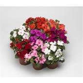 Hoa ngọc thảo đơn F1 nhiều mầu sắc