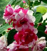 Hoa ngọc thảo kép hồng san hô
