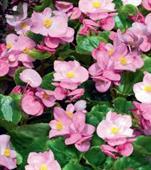 Thu hải đường hồng hoa nhỏ F1
