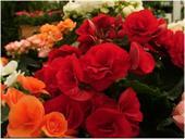 Thu hải đường grandiflora Camellia đỏ sẫm F1