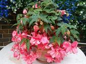 Thu hải đường hồng Begonia Chanson rủ F1